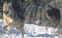 Wolves using kinetic energy to catch food.